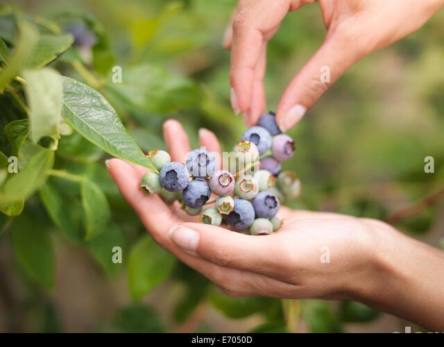 Picking blueberries on fruit farm, close up - Stock Image