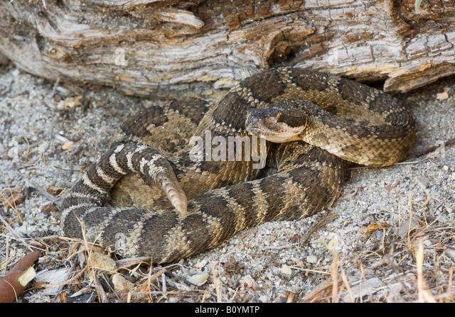 northern-pacific-rattlesnake-crotalus-vi