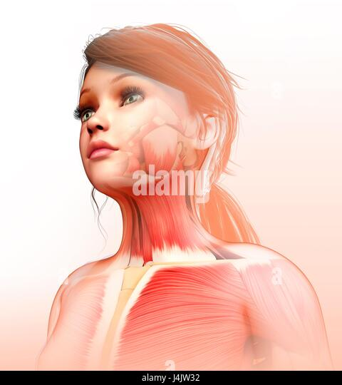 Illustration of a child's neck and chest muscles. - Stock-Bilder