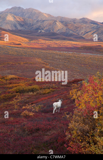 Dall's Sheep, Polychrome Pass, Denali National Park, Alaska. - Stock Image