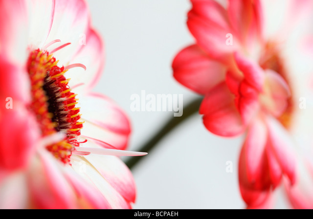 fresh and pure contemporary image of a red tipped gerberas fine art photography Jane Ann Butler Photography JABP367 - Stock Image