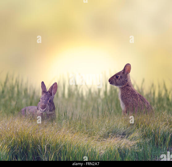 Marsh Rabbits Eating Green Grass - Stock Image