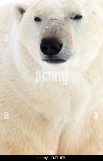 Polar bear, Churchill, Manitoba - Stock-Bilder