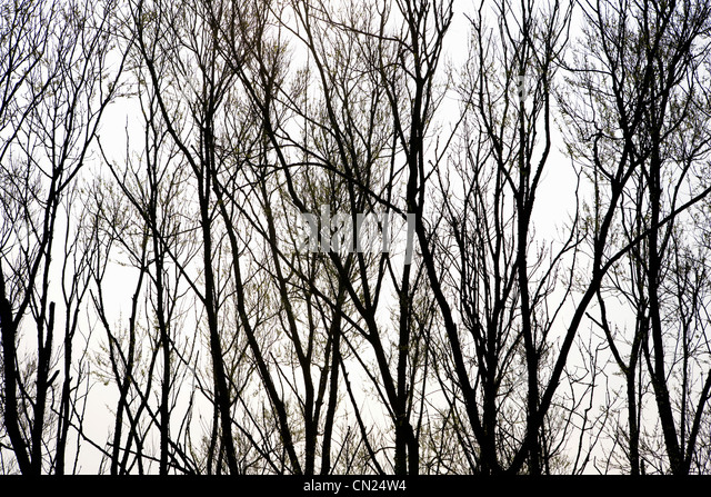 Silhouette of trees - Stock Image