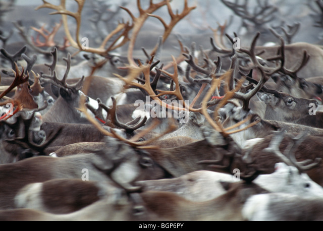 Rounding up and sorting out of reindeer herds, Sweden. - Stock Image