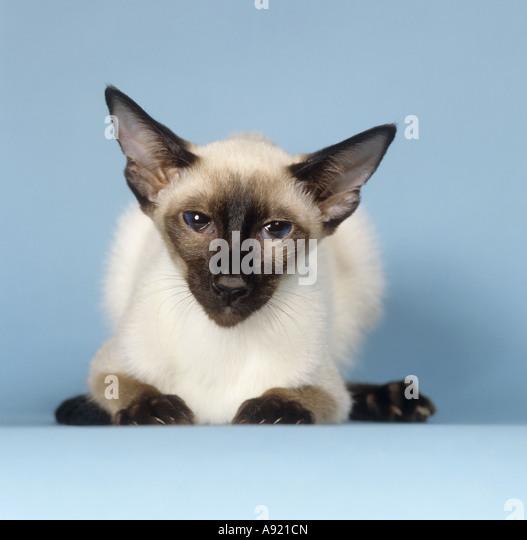 Siamese cat cutout stock photos siamese cat cutout stock for Siamese 9 electric motor