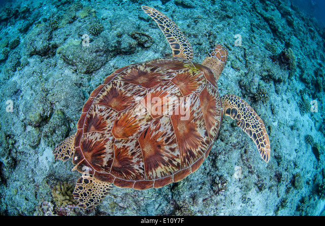 Green sea turtle, Palau (Chelonia mydas) - Stock-Bilder