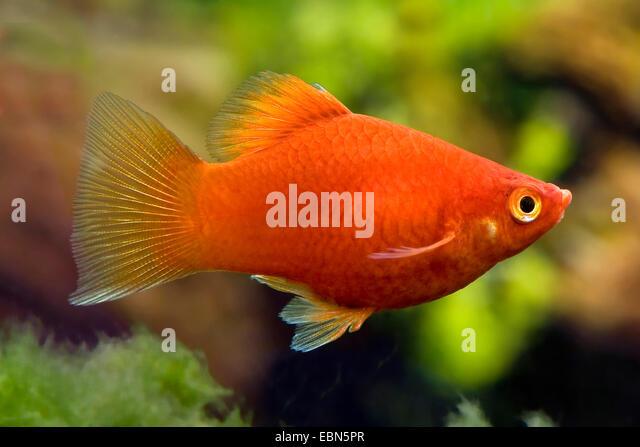 southern platyfish, Maculate Platy (Xiphophorus maculatus), breed ...