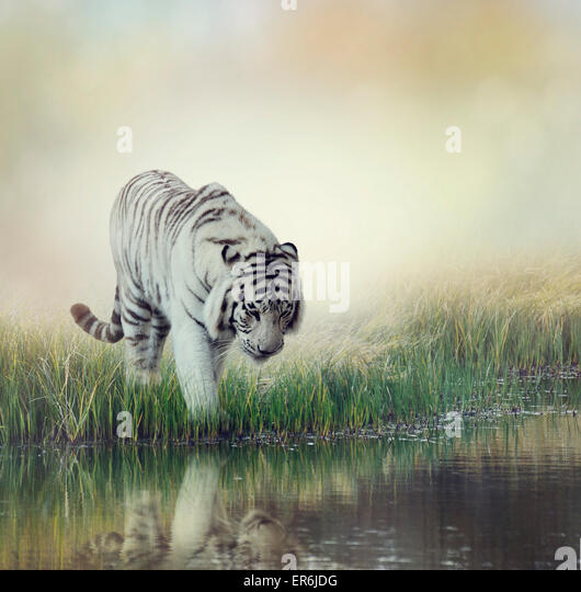 White Tiger Near A Pond - Stock Image