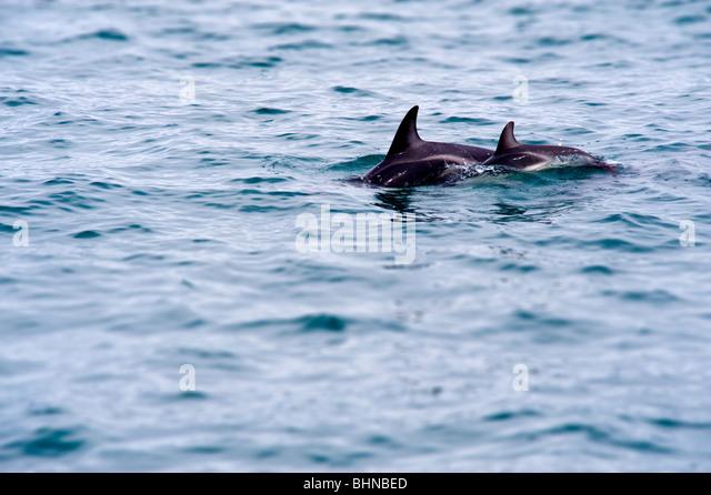 Dusky Dolphins, Kaikoura, South Island, New Zealand - Stock Image