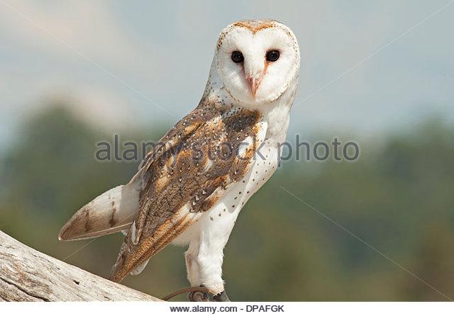 Barn Owl on branch, Lone Pine Koala Sanctuary, Brisbane, Australia - Stock Image