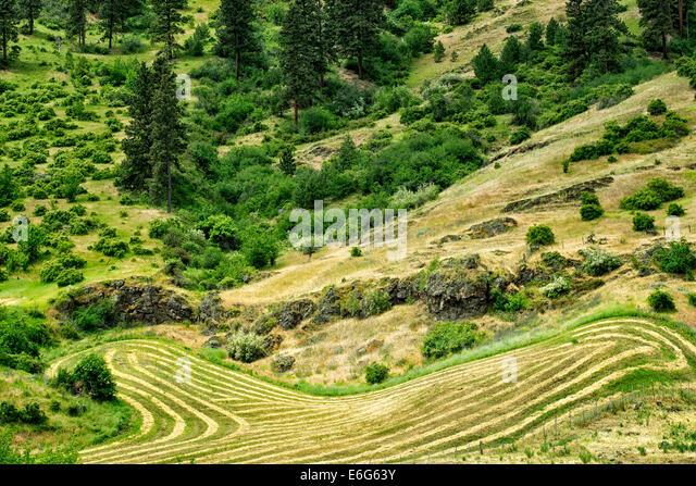 Rows of cut hay. Imnaha Canyon, Oregon.  Hells Canyon National Recreation Area, Oregon - Stock Image