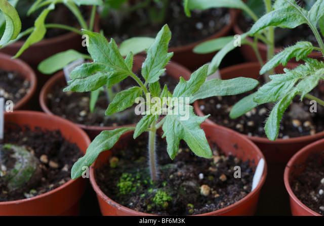 tomato plant pot stock photos tomato plant pot stock images alamy. Black Bedroom Furniture Sets. Home Design Ideas