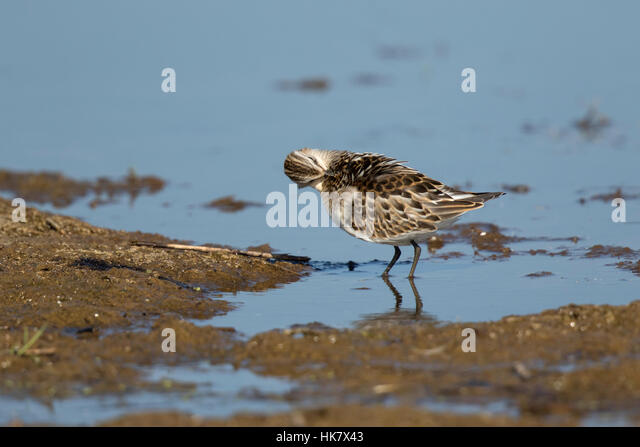 Little Stint preening - late summer at Deepdale Marsh Norfolk - Stock-Bilder