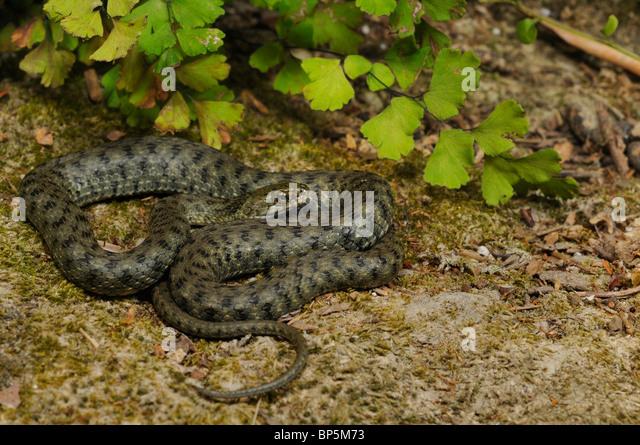 dice snake (Natrix tessellata), single individual, Greece, Creta, Greece - Stock Image