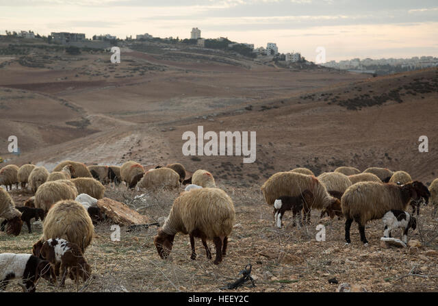 Sheep are herded in Amman, Jordan. - Stock Image