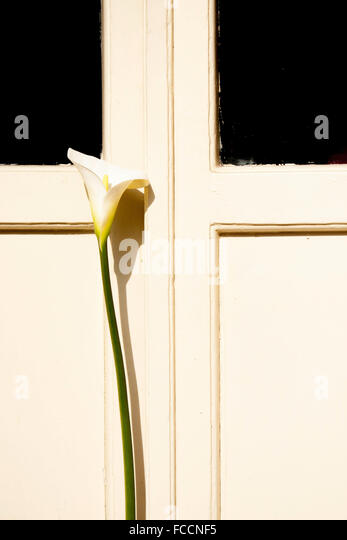 View Of White Calla Lily In Front Of White Door - Stock Image