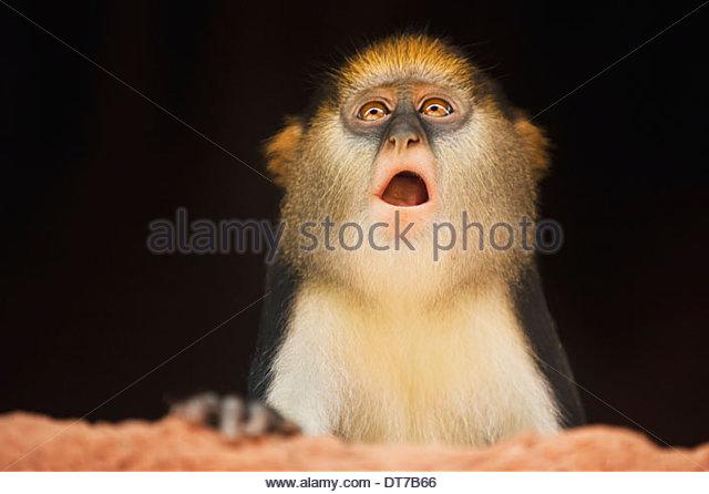 Mona monkey inside house Cercopithecus mona Boabeng-Fiema Monkey Sanctuary Ghana Boabeng-Fiema Monkey Sanctuary - Stock Image