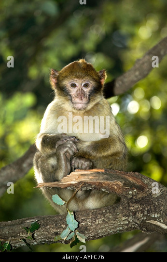 Barbary Macaque Macaca sylvanus Portrait Vulnerable species Gibraltar Morocco Algeria - Stock Image