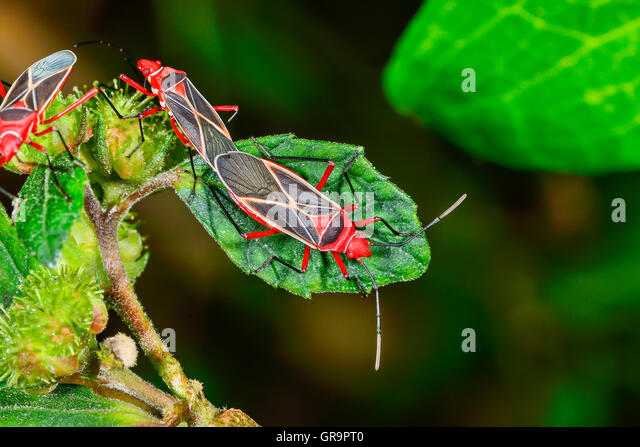 Cotton Stainer - Stock Image