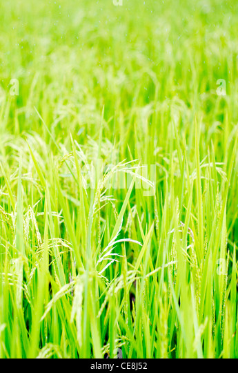 rice field in philippines, for agriculture background - Stock Image