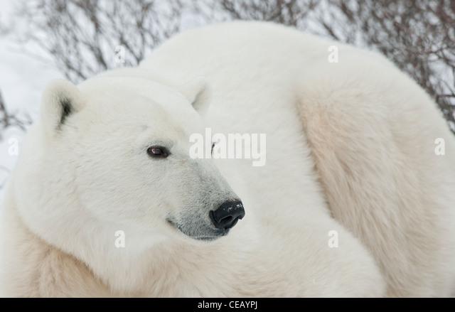 Polar Bear . Close up - Stock-Bilder