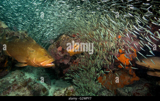 A Nassau grouper and a couple of Gray snapper, linger near a large school of Glass minnows', hoping for a meal. - Stock-Bilder