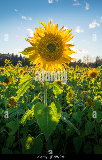 Sunflower field at summer day against blue sky - Stock Image