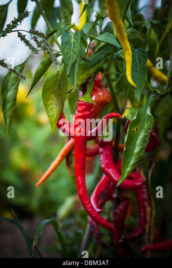 Red Chilli Peppers, Croatia, Slavonia, Europe - Stock Image