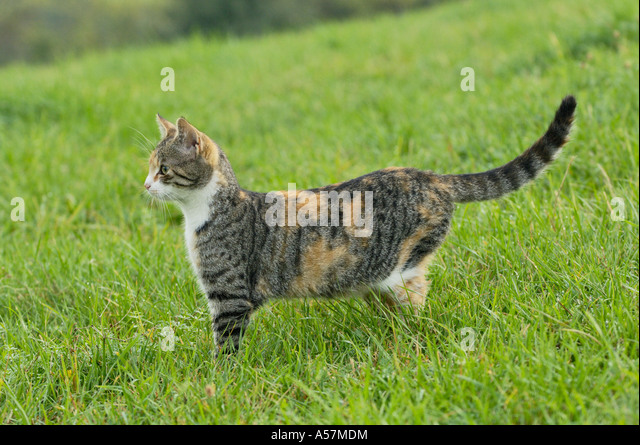 Domestic cat in meadow - Stock Image