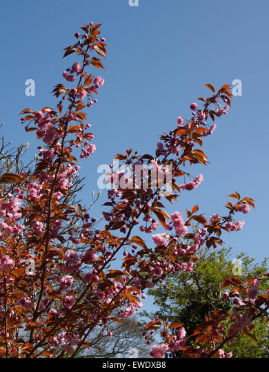 Japanese flowering cherry tree Kanzan - Stock Image