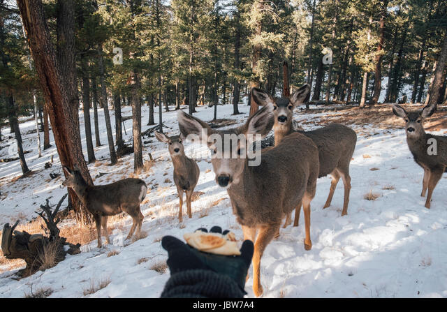 Person holding out hand with food, to entice deer, Florrisant, Colorado, USA - Stock-Bilder