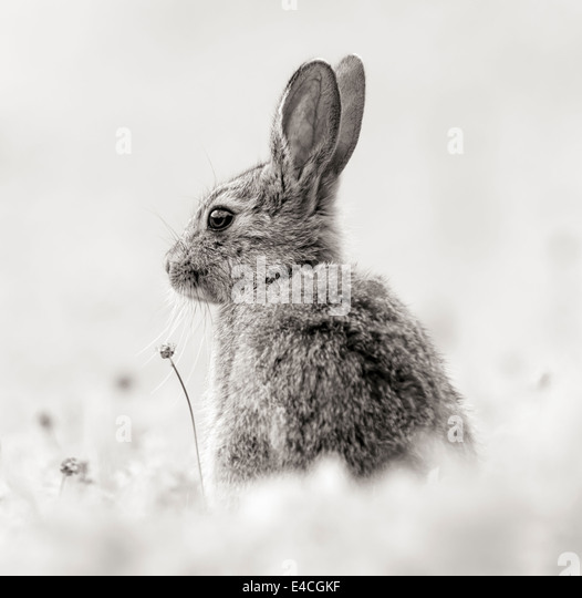 Rabbit in monochrome - Stock Image