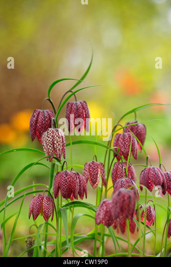 Fritillaria flowers in garden setting, Greater Sudbury, Ontario, Canada - Stock Image