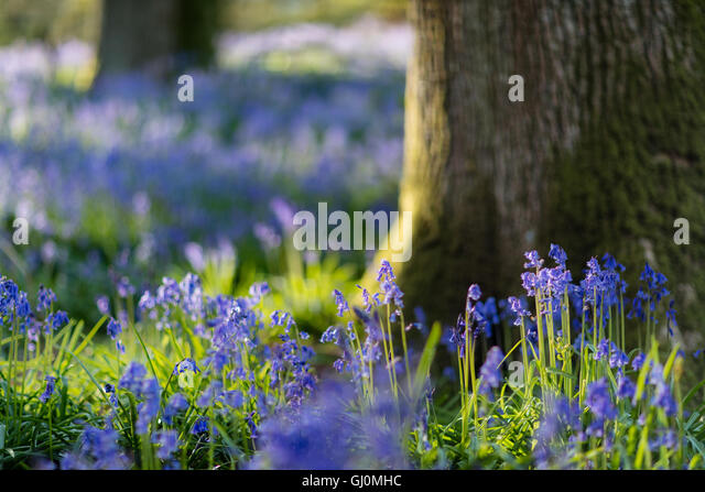 bluebells in the woods near Minterne Magna, Dorset, England - Stock Image