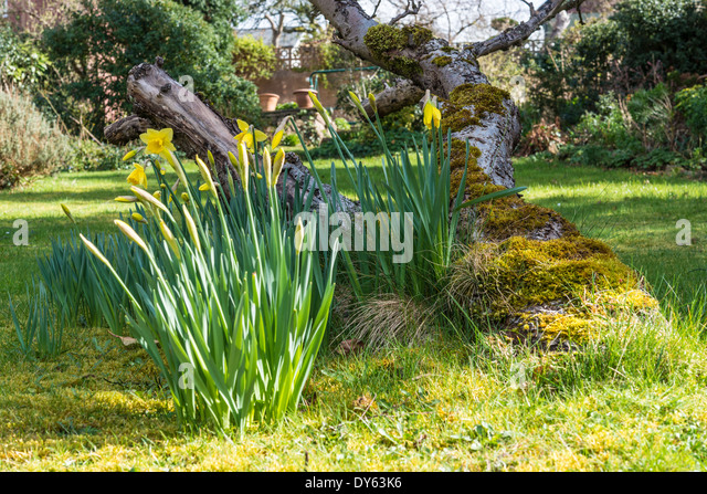 Daffodils growing in garden under old apple tree in spring. Sixth of sequence of 10 (ten) images photographed over - Stock Image