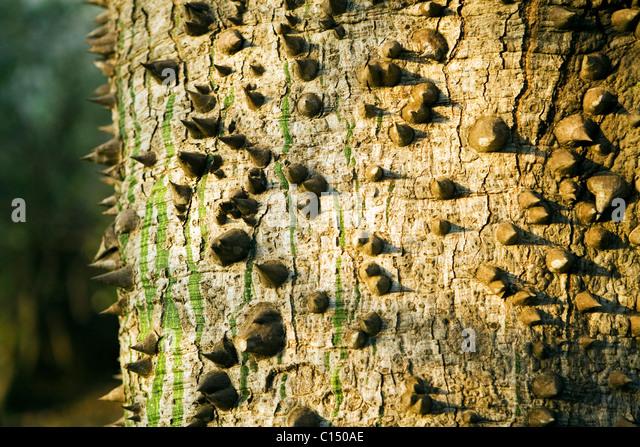 Tree Trunk protected by thorns - Mara Serena Hotel - Masai Mara National Reserve, Kenya - Stock Image