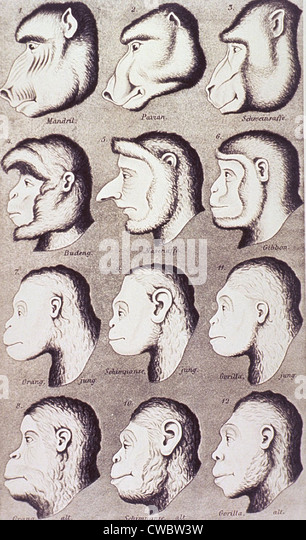 A series of primate heads progressively develop to more human-like features. From Ernest Haeckel's 1868 popular - Stock-Bilder