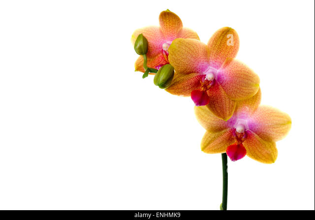 Multi colored orchid with copy space. - Stock Image
