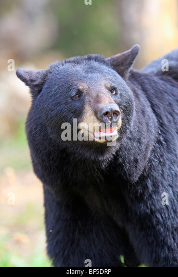 American Black Bear (Ursus americanus). Adult male, portrait. - Stock Image