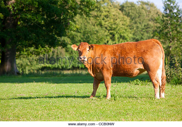 Cow standing in field - Stock Image
