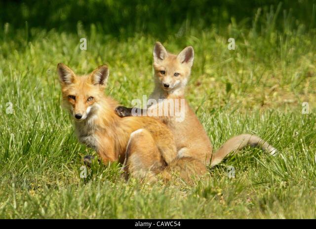 April 25, 2012 - Lexington, Kentucky, USA - A mother gray fox (urocyon cinereoargenteus) enjoys a spring afternoon - Stock-Bilder