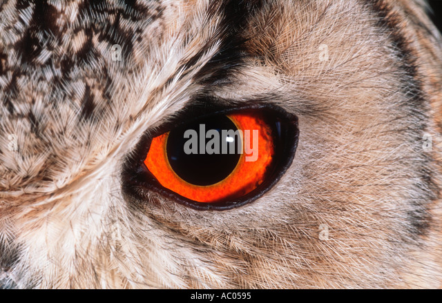 Bengal Eagle Owl Bubo bubo bengalensis India - Stock-Bilder