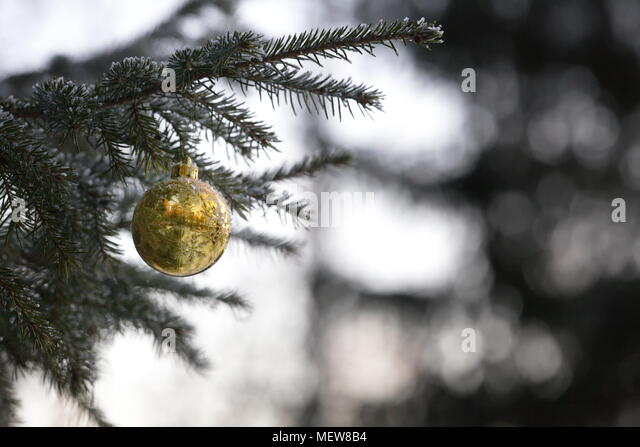 A snow covered Christmas bauble is hanging on a fir tree in a garden. - Stock Image