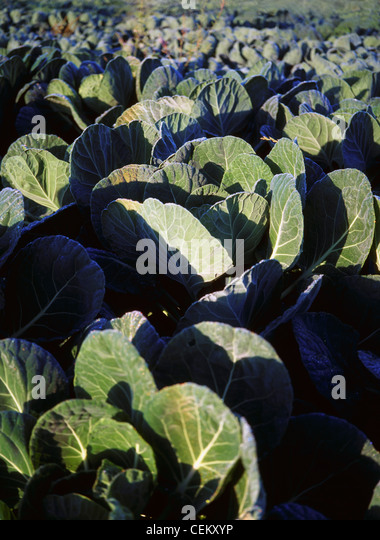 Cabbages, Co Meath, Ireland - Stock Image