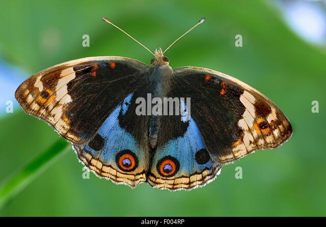 Precis (Precis orythya), on a leaf - Stock-Bilder