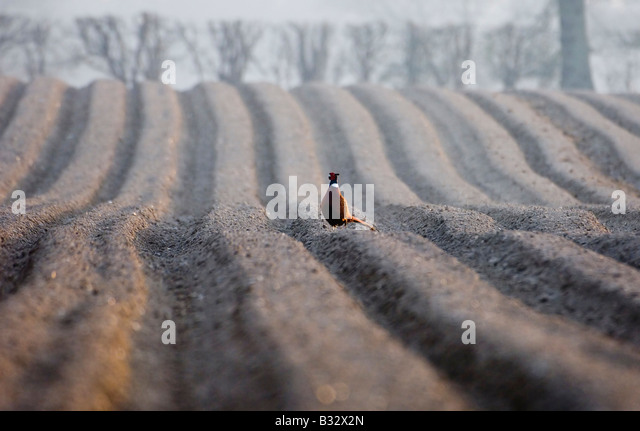 Pheasant male on recently ploughed field late winter Holt Norfolk - Stock-Bilder