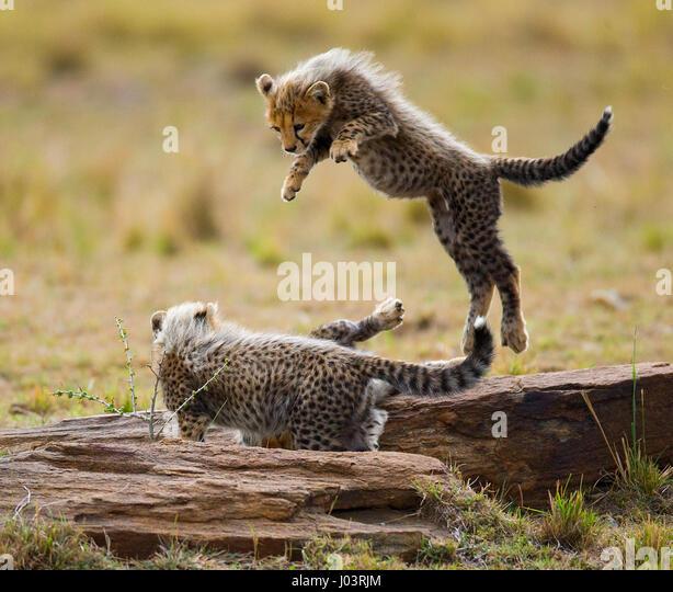 Cheetah cubs play with each other in the savannah. Kenya. Tanzania. Africa. National Park. Serengeti. Maasai Mara. - Stock Image