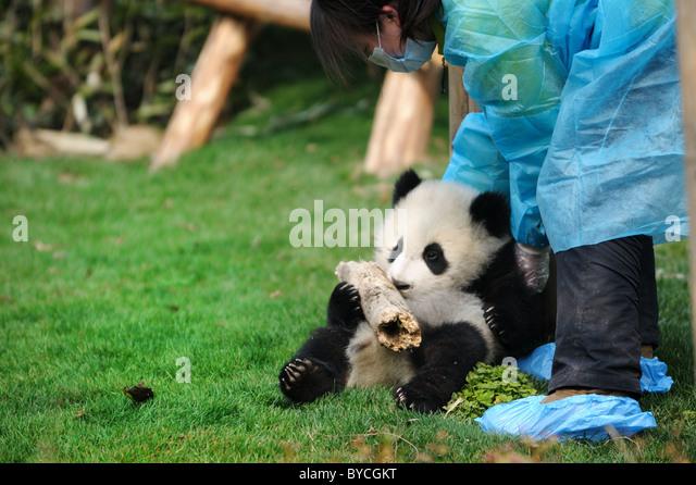 woman feeding panda - Stock Image