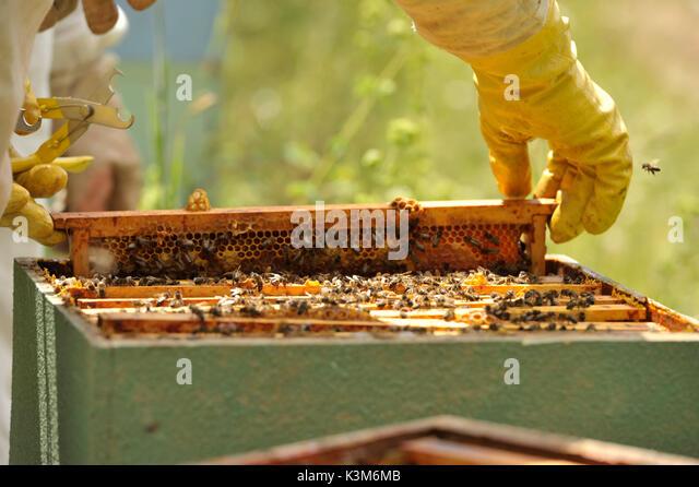 harvest, honey, beehive, beekeeper - Stock Image